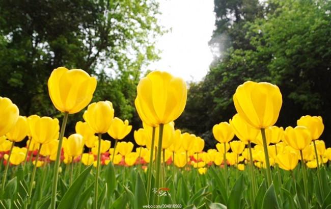 陕西/郁金香的本意是一种花卉,在植物分类学上,是一类属于百合科...