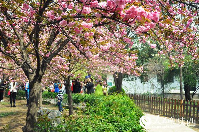 又到樱花烂漫时 预计青龙寺清明客流将日均过