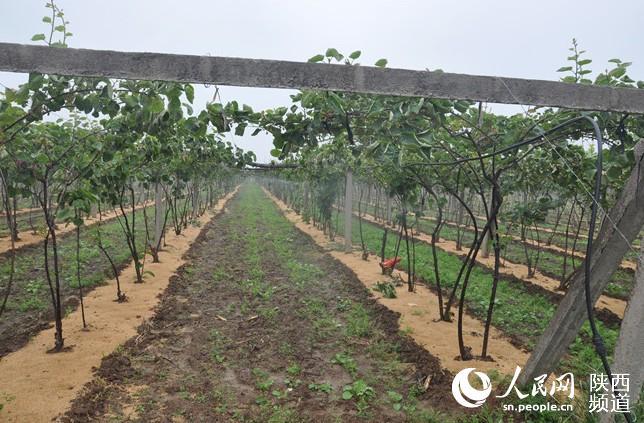 宝鸡市眉县第五村采用微喷灌溉的猕猴桃园.张伟摄