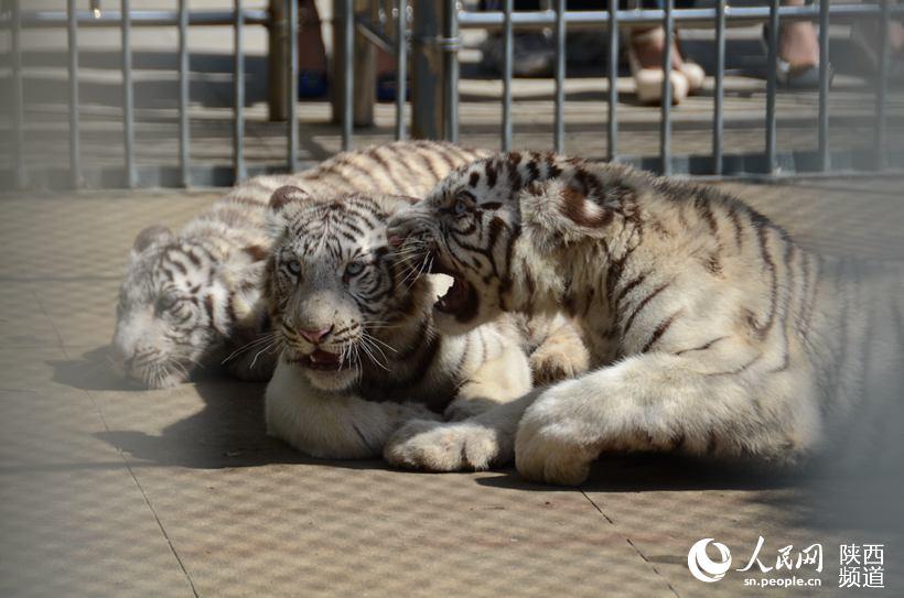 秦岭野生动物园三胞胎小白虎得名秦
