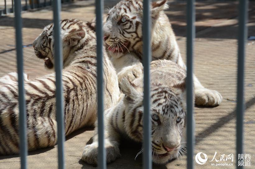 秦岭野生动物园三胞胎小白虎有名字啦(组图)