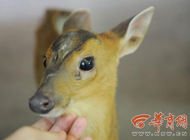 神奇动物之犬麂 学名:小麂 生长分布:小麂主要分布于中国长江以南各省,指名亚种分布于安徽、河南、陕西、甘肃等地。 小麂是麂类中最小的一种,叫声如犬吠,又称吠鹿或犬麂,是中国的特有种类。小麂具有较高经济价值,麂肉可食,麂皮细而韧,可用以制革。(这么可爱怎么忍心下嘴?) 它的体型很小,长得有点像鹿,一双萌萌的大眼睛简直太可爱啦!有兴趣的朋友可以去秦岭野生动物园看看哦。