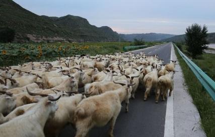 沿黄公路遇羊群