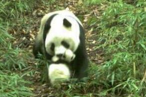 野生大熊猫争夺地盘