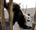 熊猫戴墨镜  千万不要惹        可爱、憨厚――说到大熊猫,想必这是绝大部分人的回答。然而,这就是真实的大熊猫吗?