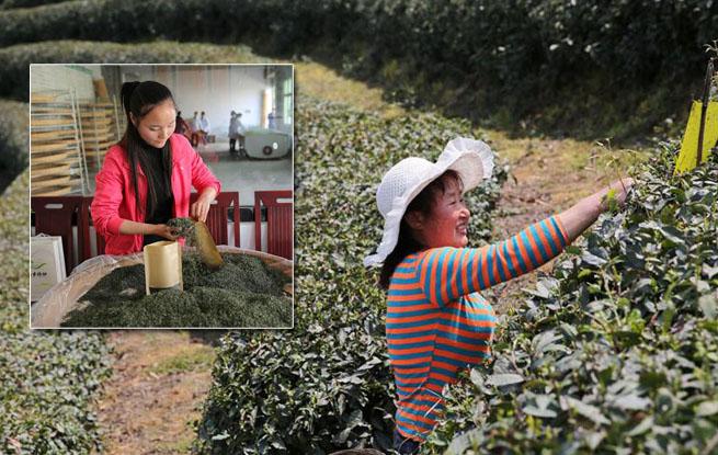 采茶季里的打工女 吃住在茶园日挣百元