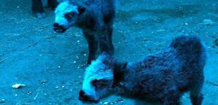 青海甘德现万分之一罕见双胞胎牦牛