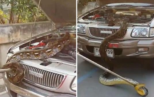 男子开车发现引擎盖下藏巨蟒