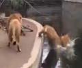 狮子失足落水