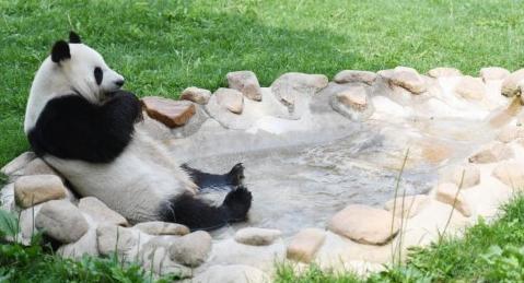 大熊猫开启避暑度假模式