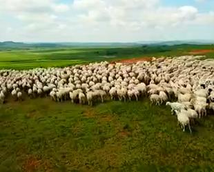 航拍西乌珠穆沁:绿草如海 羊群如云