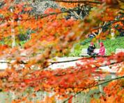 杭州:枫叶渐红
