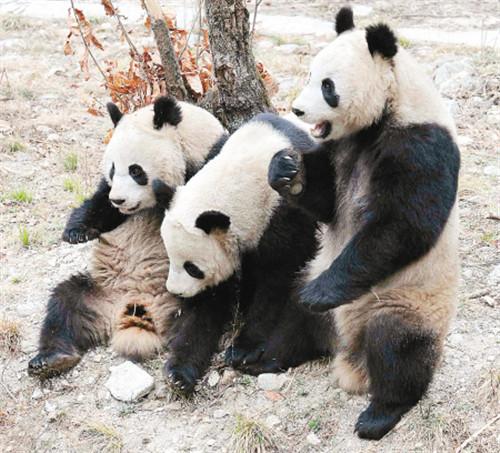 """野生动物抢救饲养研究中心的22只大熊猫中,有许多西安市民的""""熟面孔"""""""